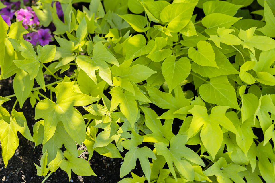 sweet potato vine