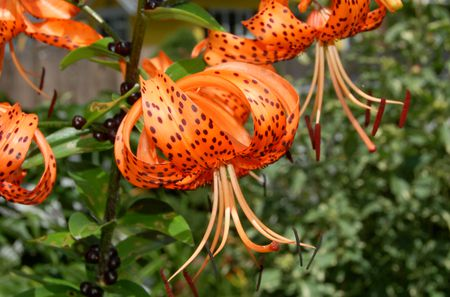 How To Grow And Care For Tiger Lilies