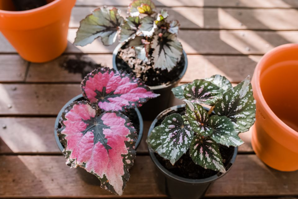rex begonias on an outdoor deck