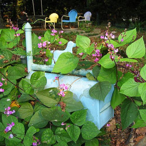 Flowering Mailbox Vine