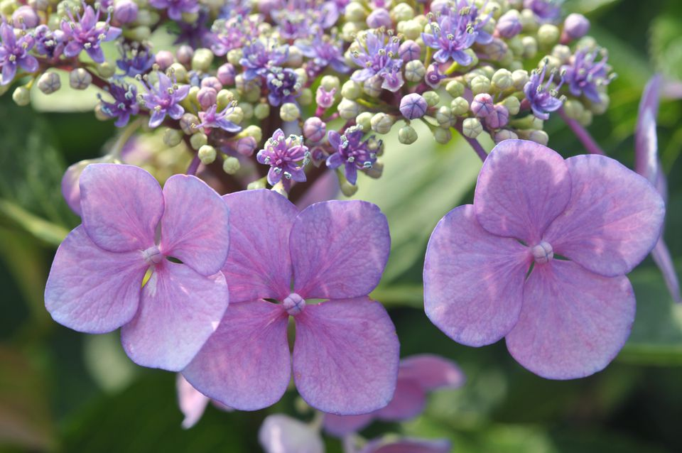 Lacecap hydrangea flowers with pink petals and light green buds above closeup