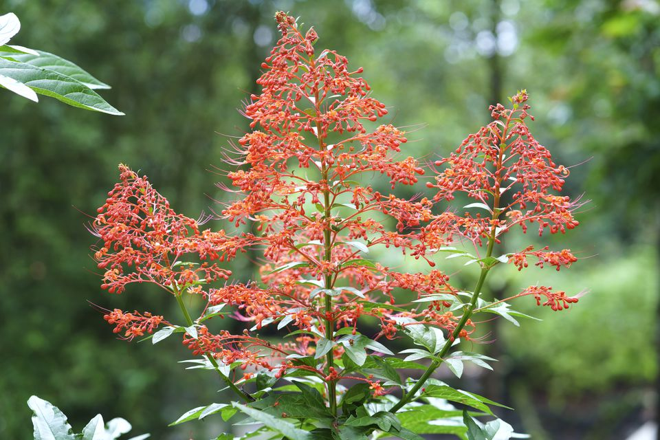 Pagoda plant (Clerodendrum paniculatum) in bloom