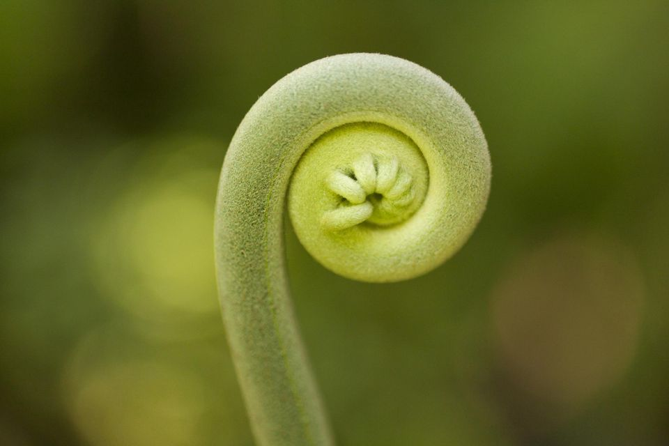 Tender Fiddlehead