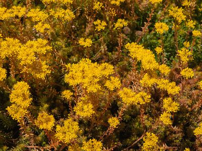 Angelina stonecrop groundcover with yellow flowers