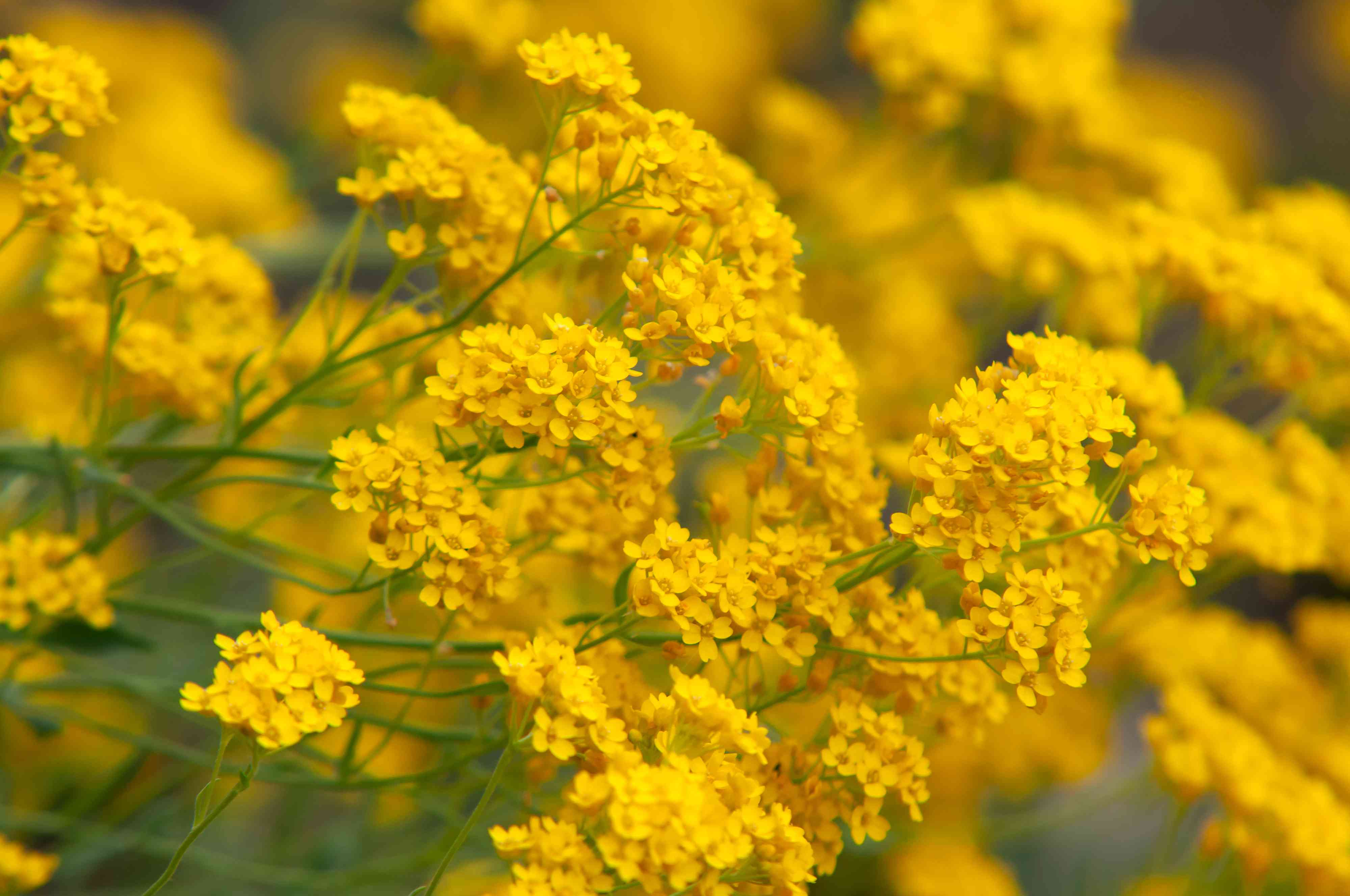 Yellow alyssum plant with clustered yellow flowers on extended stems