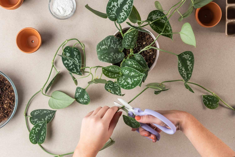 taking plant cuttings