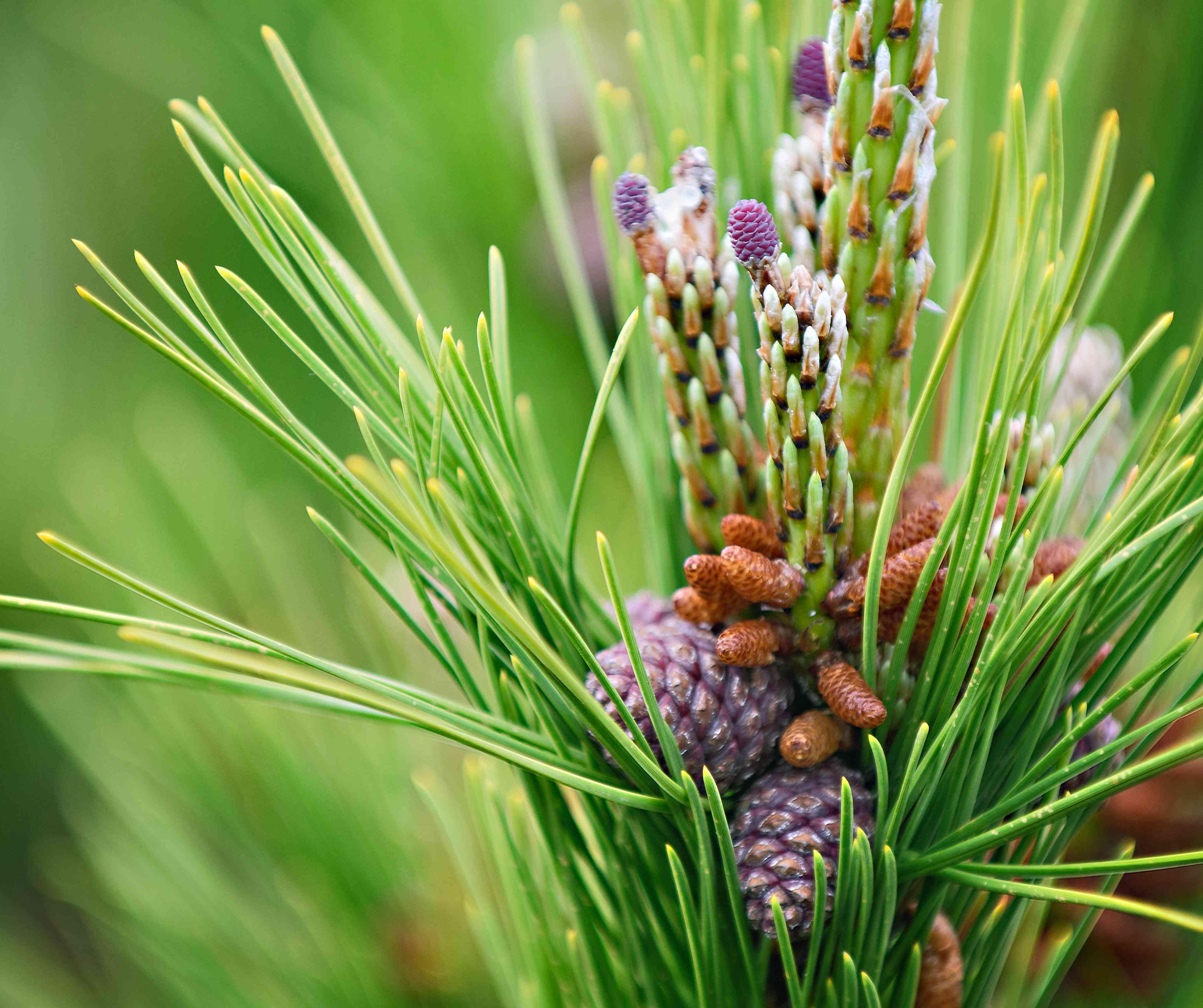 New Growth on Fire Island Pitch Pine (pinus rigida)