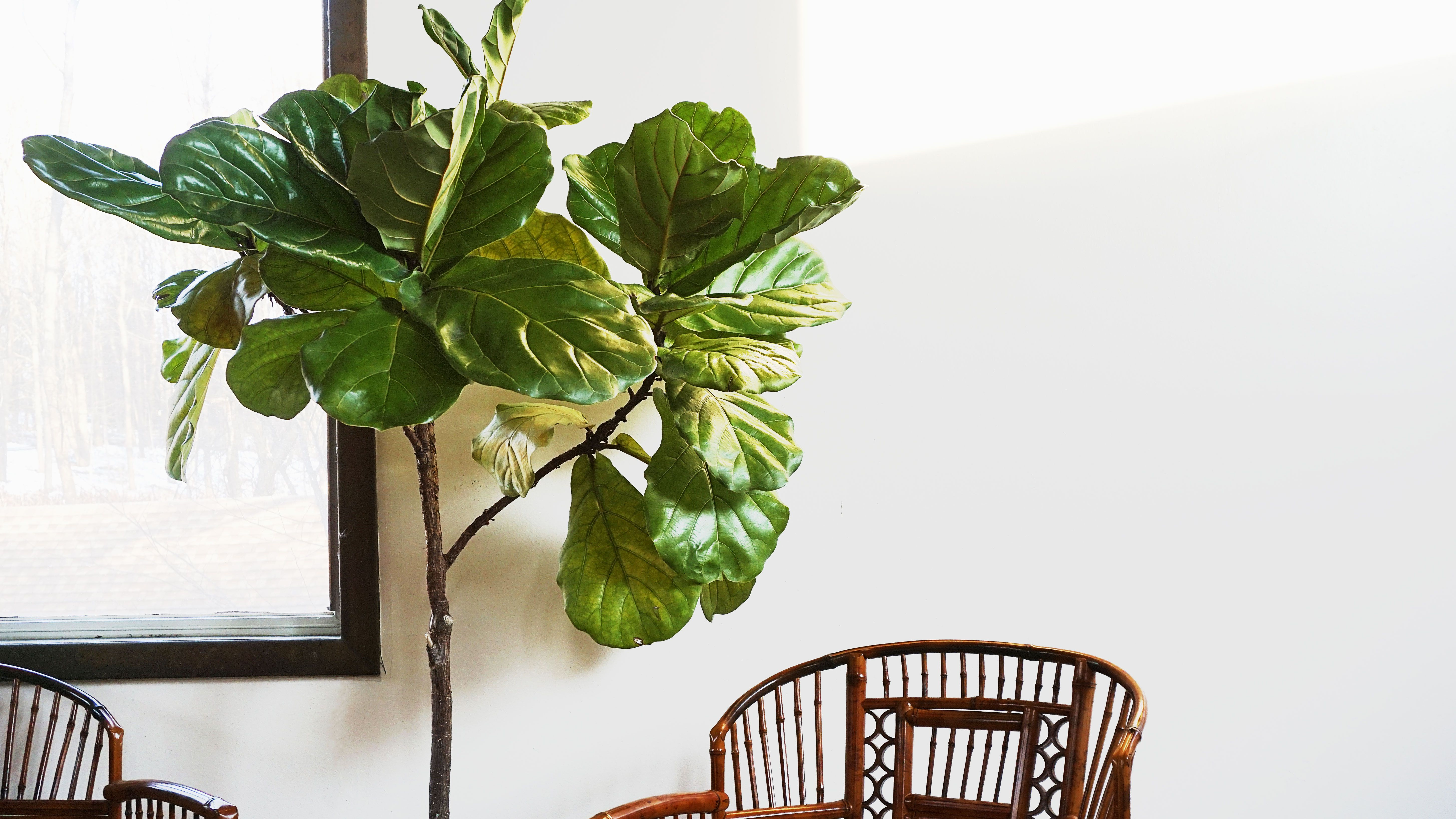 How to Grow and Care for Fiddle Leaf Fig Plants