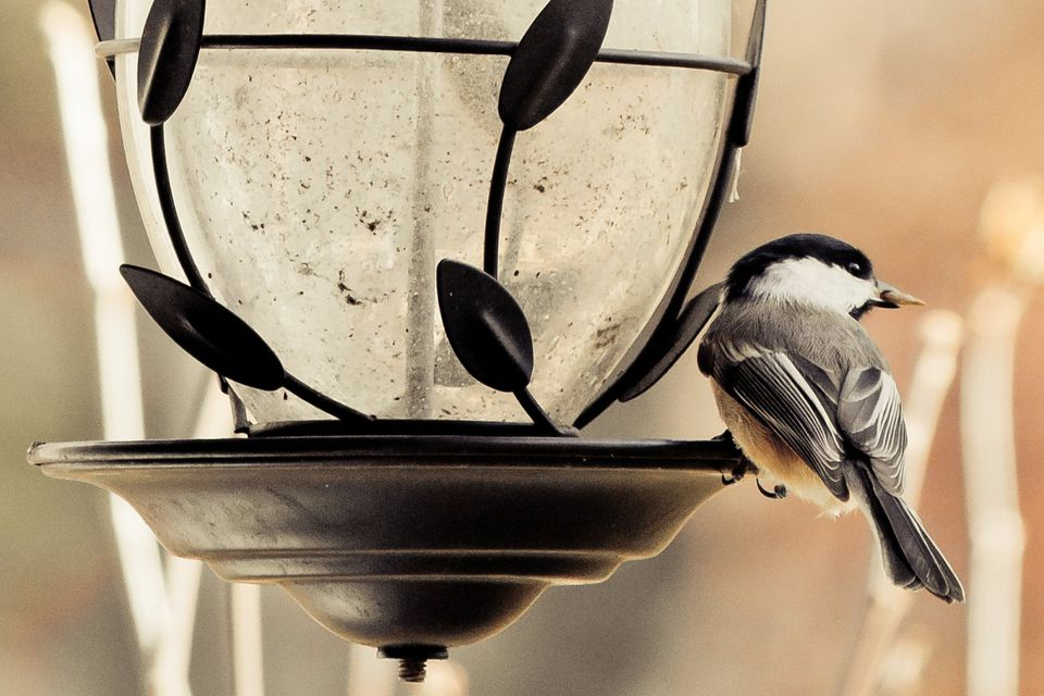 Empty Bird Feeder With Chickadee