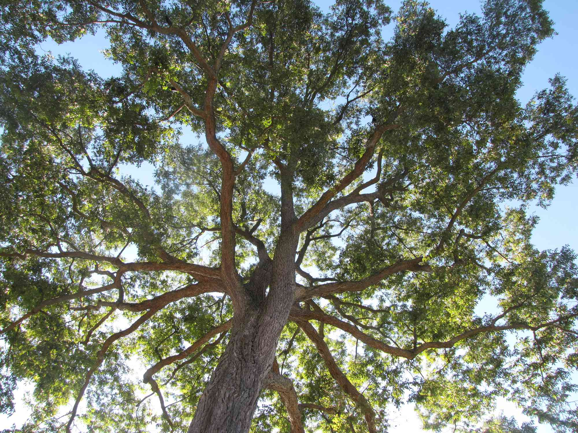 Pecan trees are tall trees with a wide canopy