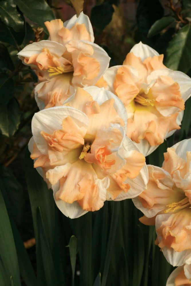 'Mary Gay Lirette' daffodils with cream petals and peach centers