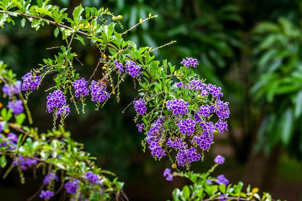 Duranta Plant