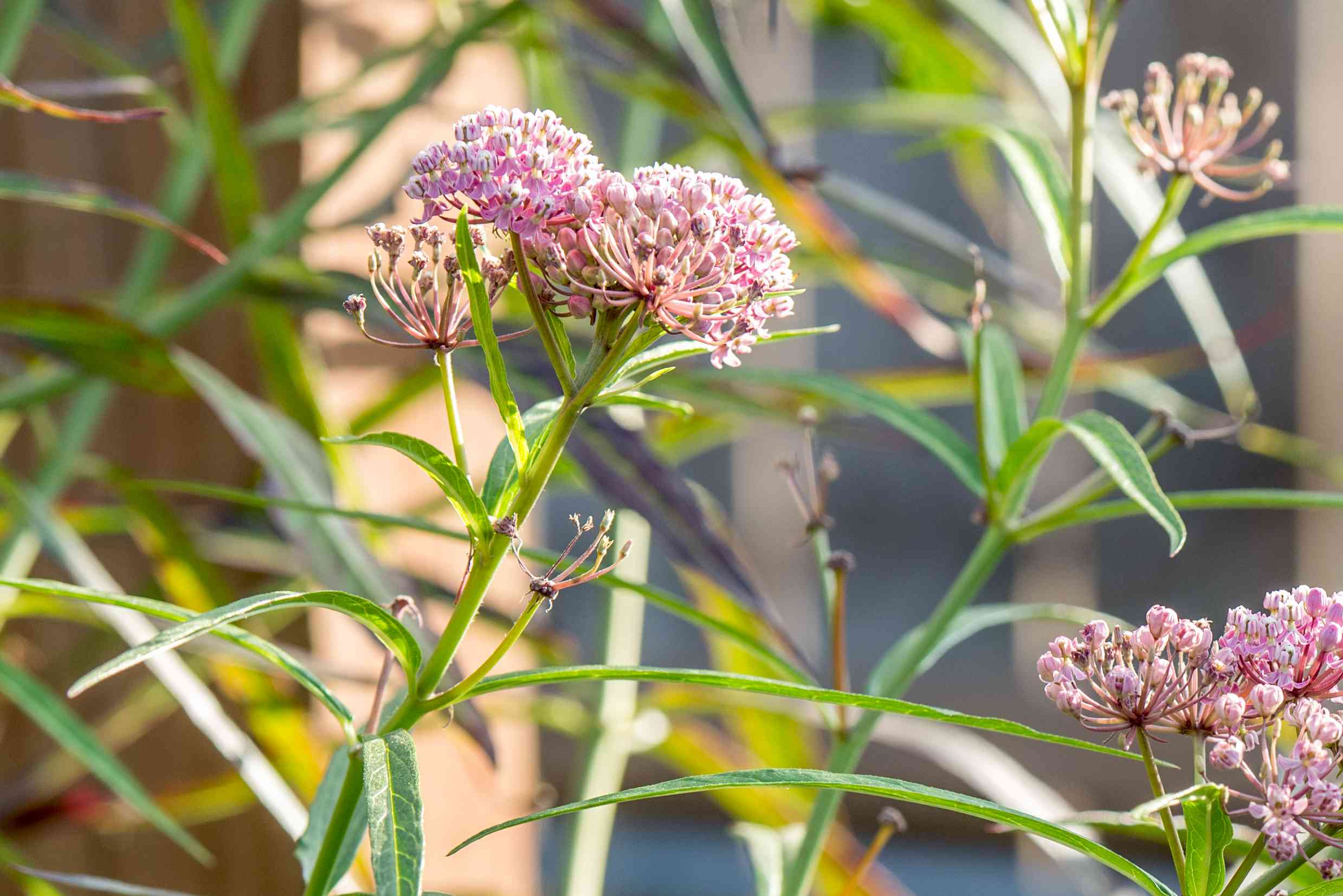 Swamp milkweed plant with small pink flowers and buds clustered at end of stems