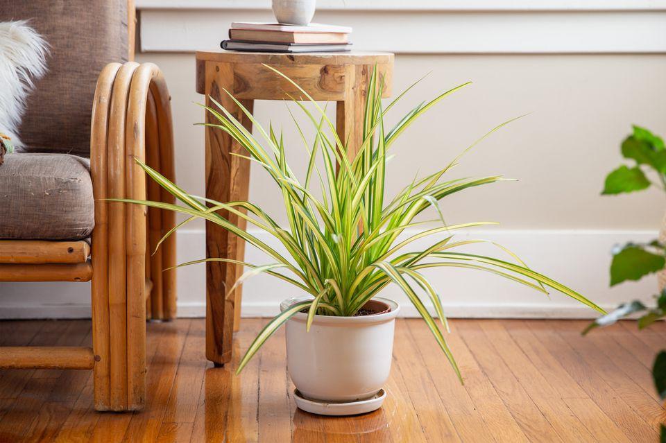 screw pine as a houseplant
