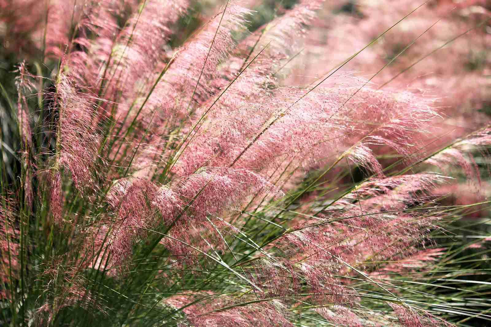 Hierba rosada de Muhlybergia (Muhlenbergia) capillaris)