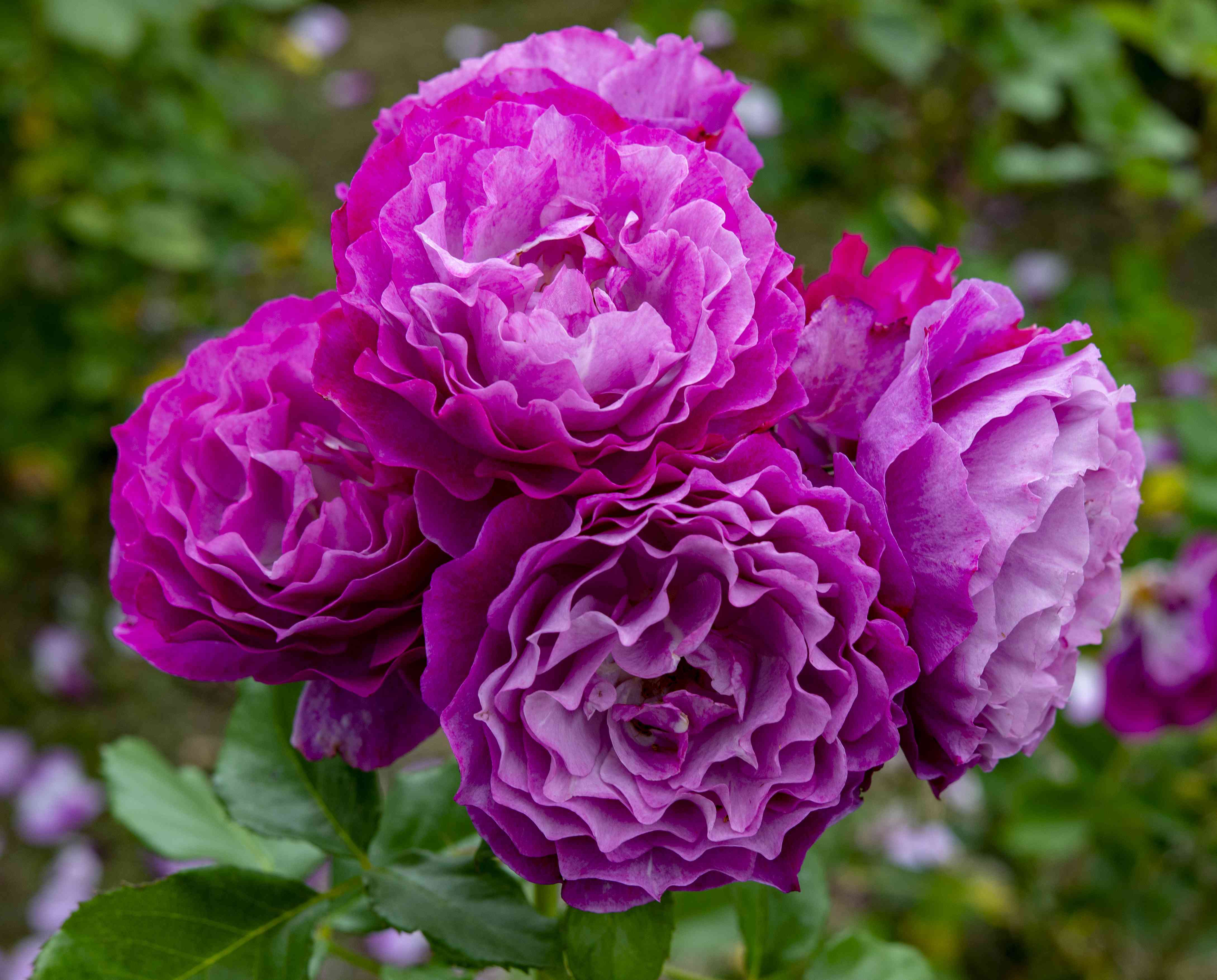 Different rose