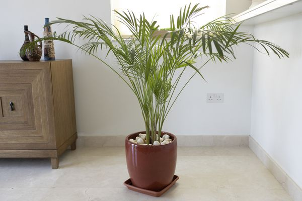 Bamboo palm (Chamaedorea seifrizii) in a brown pot sitting in the corner of a living room.
