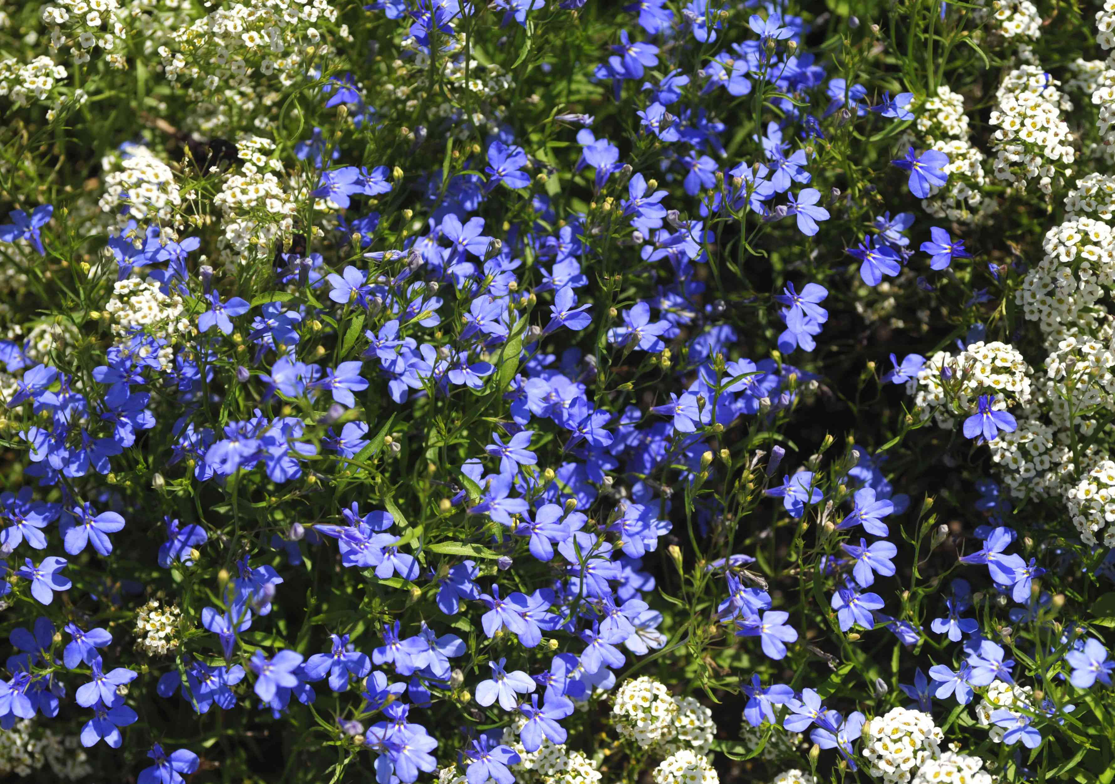 Trailing lobelia plant with small purple flowers in between leaves and small white flower clusters