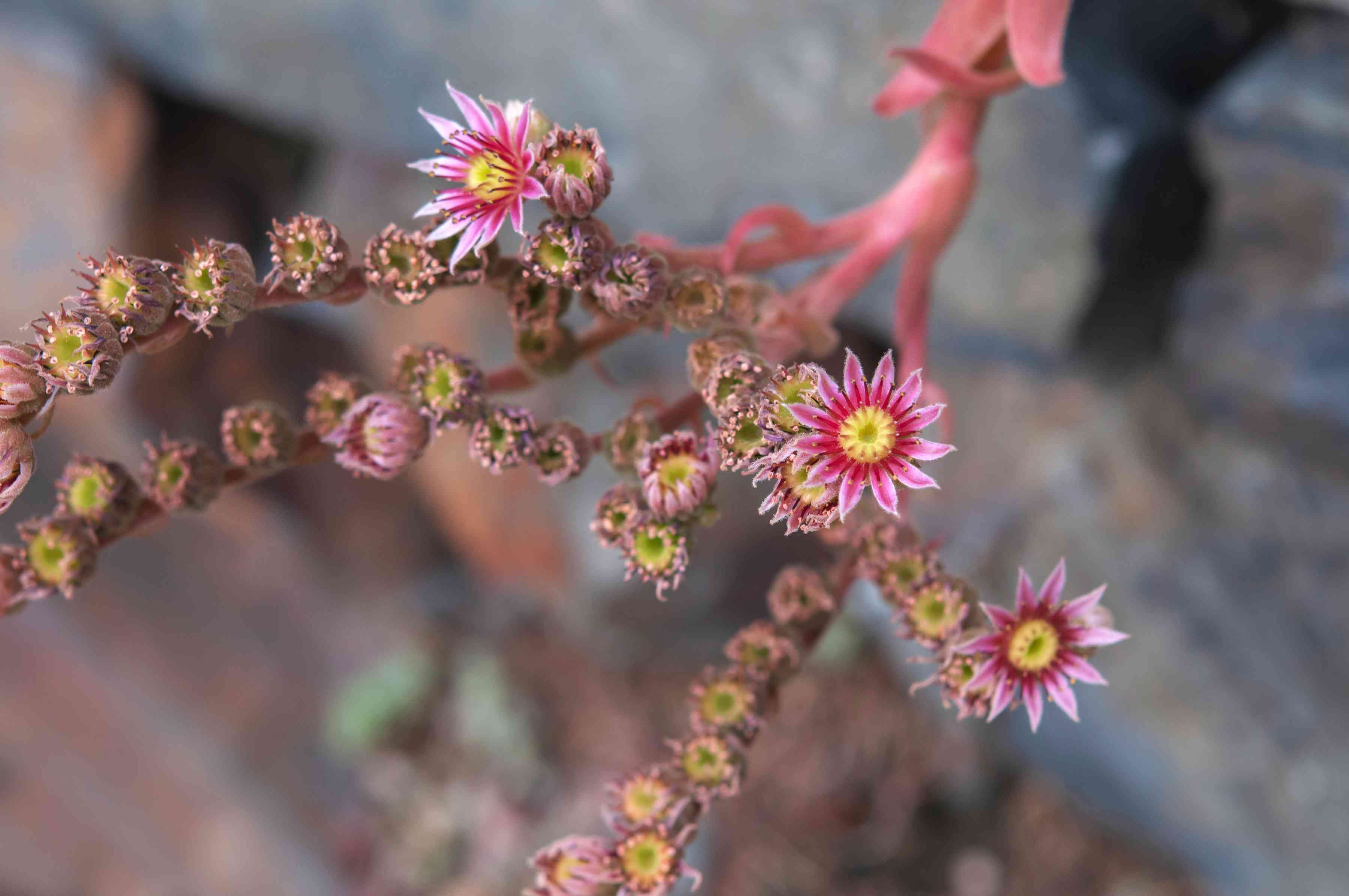 Hens and chicks succulent flower stalk with small pink flowers closeup