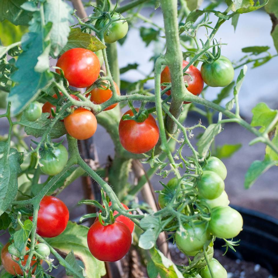 Reisentraube Tomatoes
