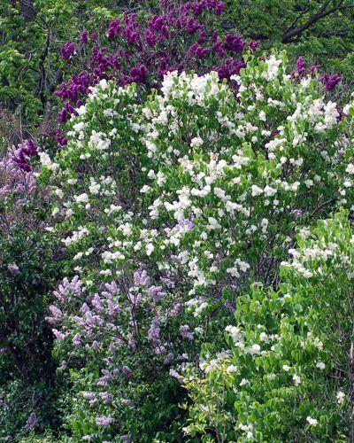 Imagen de lilas lavanda