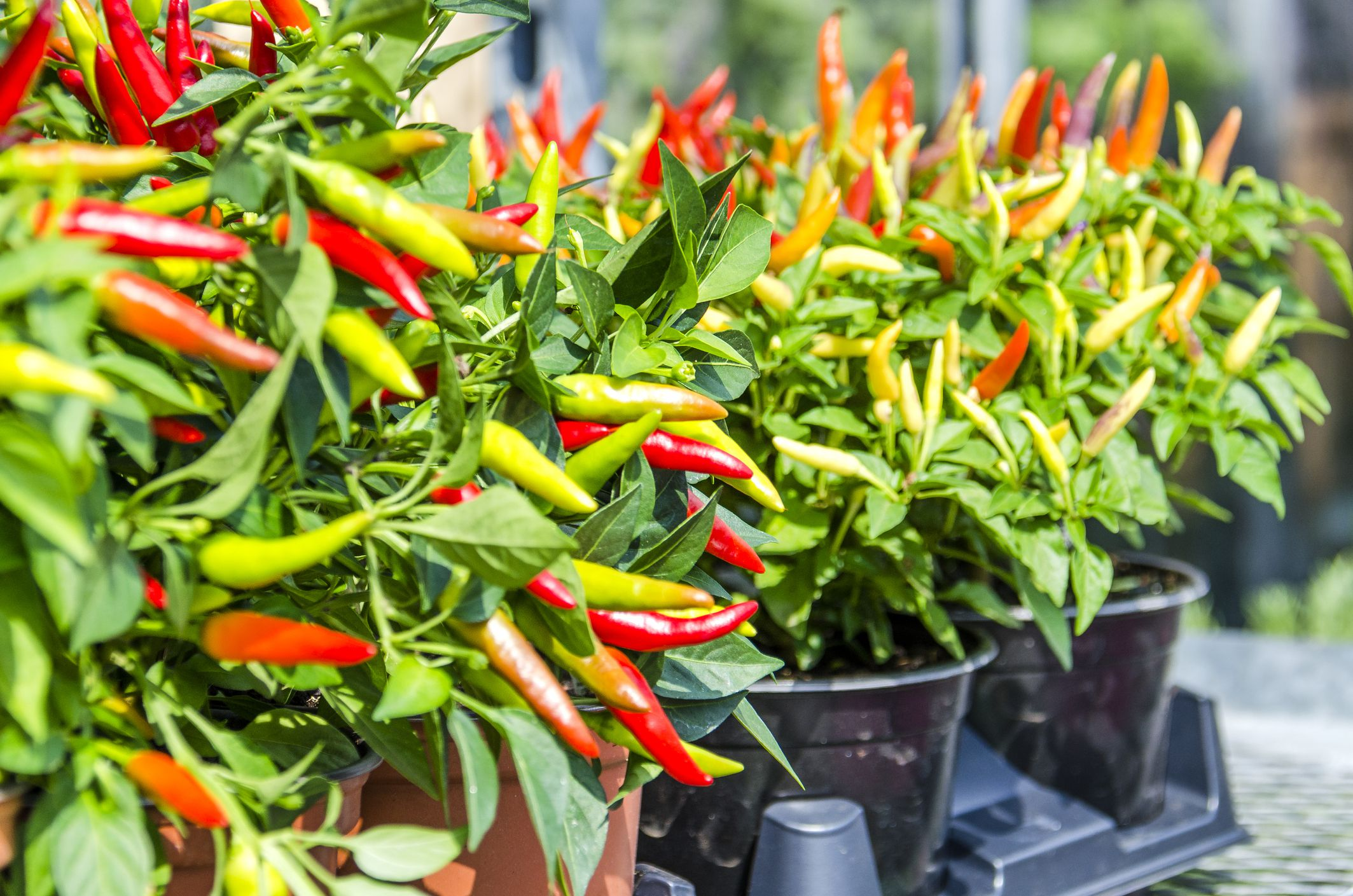 Ornamental Pepper Plant Care And Growing Guide