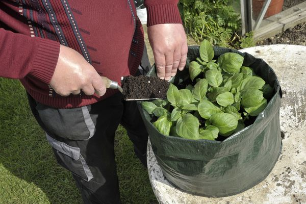 Gardener topping up Potatoes with compost growing in a space saving patio bag or vegetable growing bag.