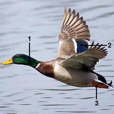 Male mallard in flight with identifying markers.