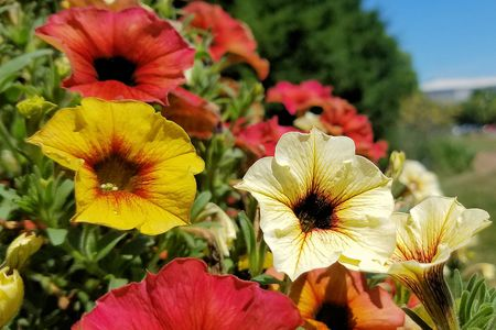 Top 10 flowers that attract hummingbirds petunias mightylinksfo