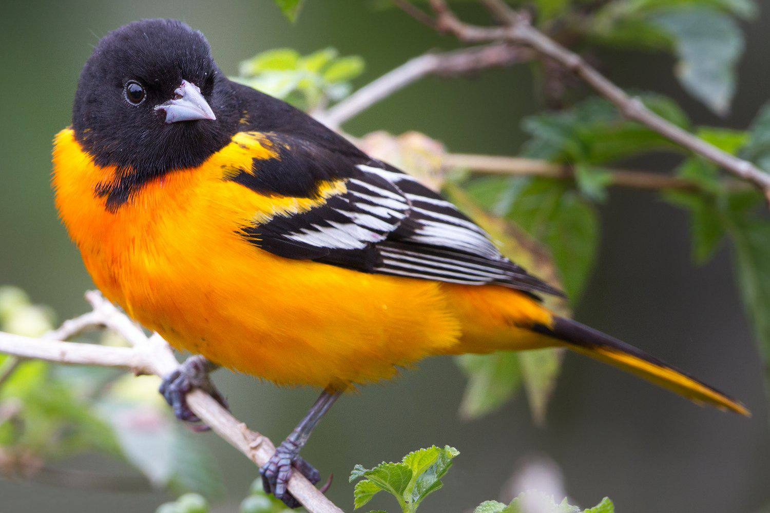 Pictures Of State Birds Photo Gallery