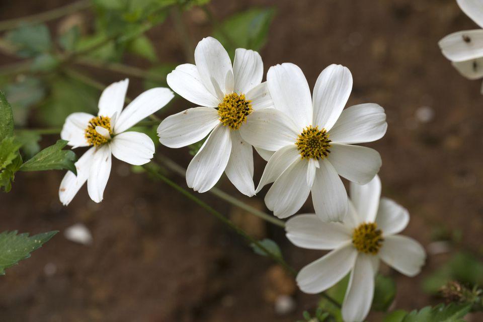 Bidens ferulifolia 'Pirate Pearl' flowers