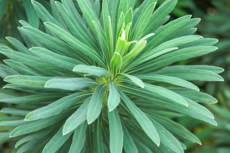 Euphorbia succulent for outdoors closeup