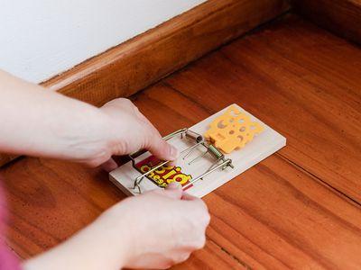 person placing a rat trap