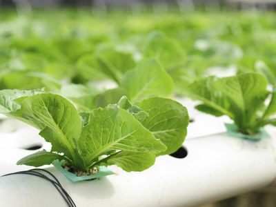 Closeup of hydroponic system growing lettuce