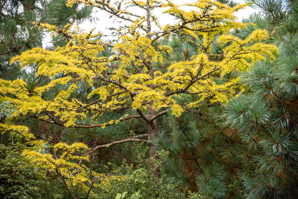Golden larch tree with with yellow needles on branches in middle of forest