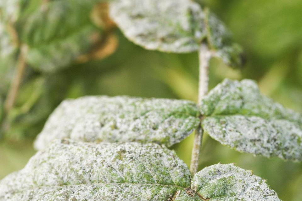 Powdery mildew on rose foliage