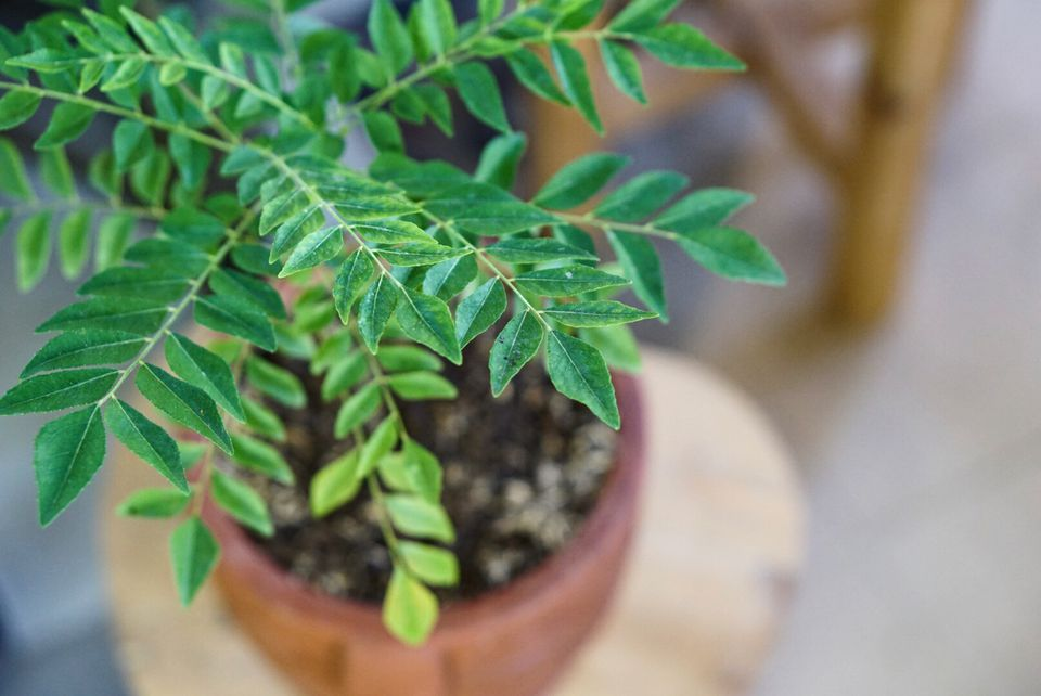Curry plant with bright green leaflets in a orange ceramic pot