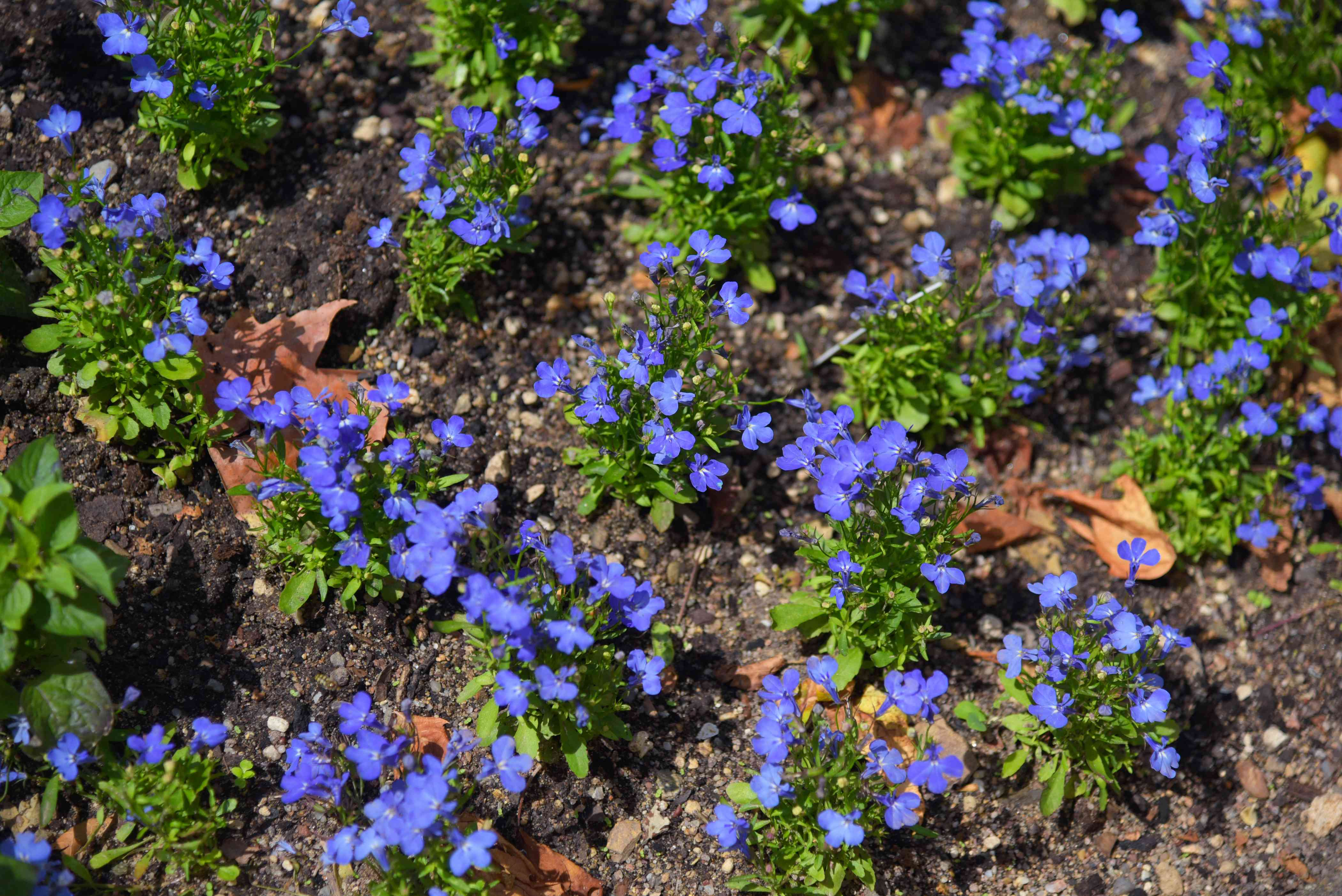 Lobelia plant in rows full of deep purple flowers in sunlight