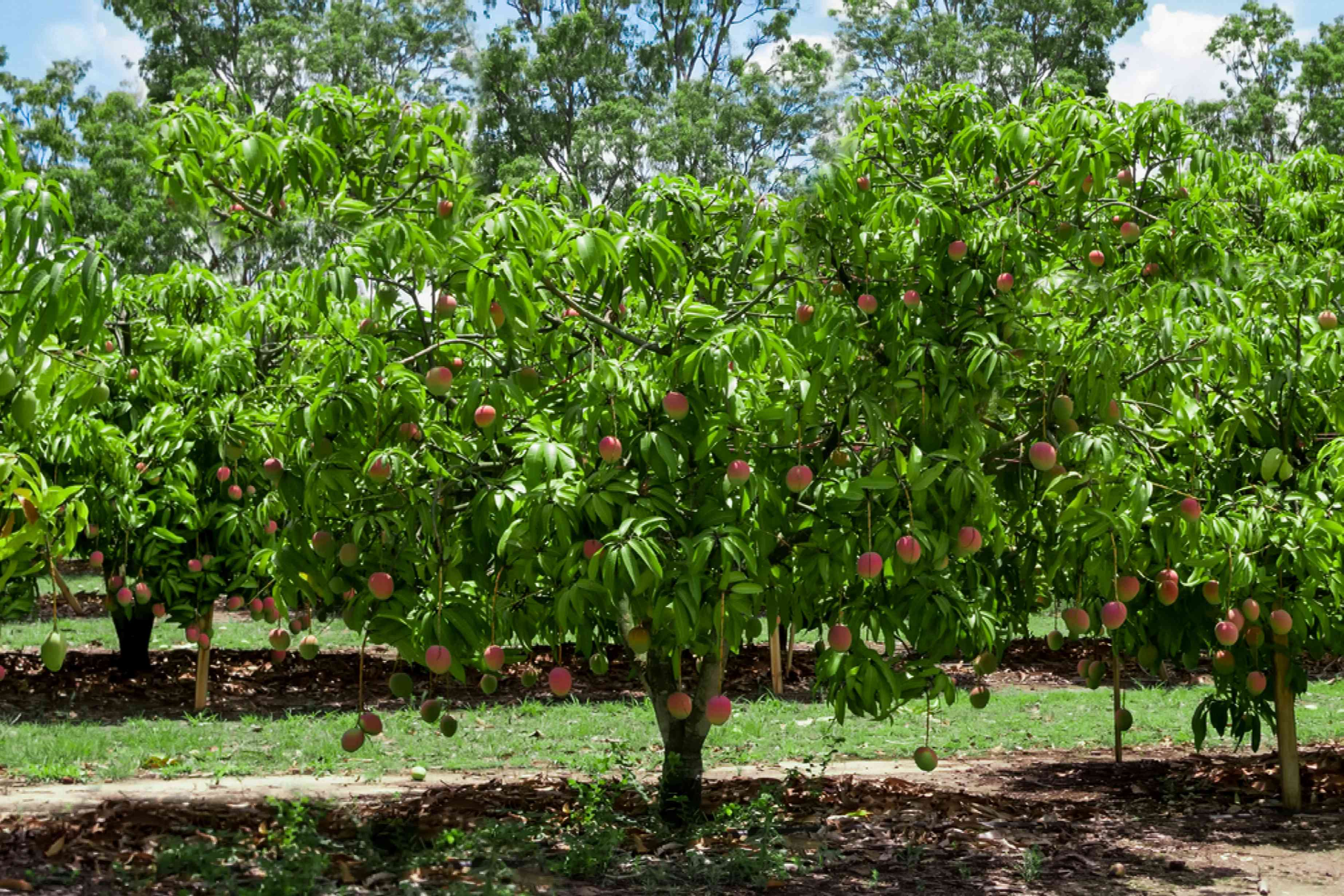 Mango tree with red mangoes hanging in garden