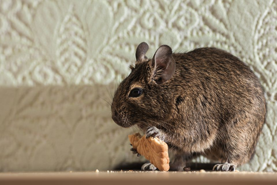 Common Signs You Still Have Mice or Rats in Your Home