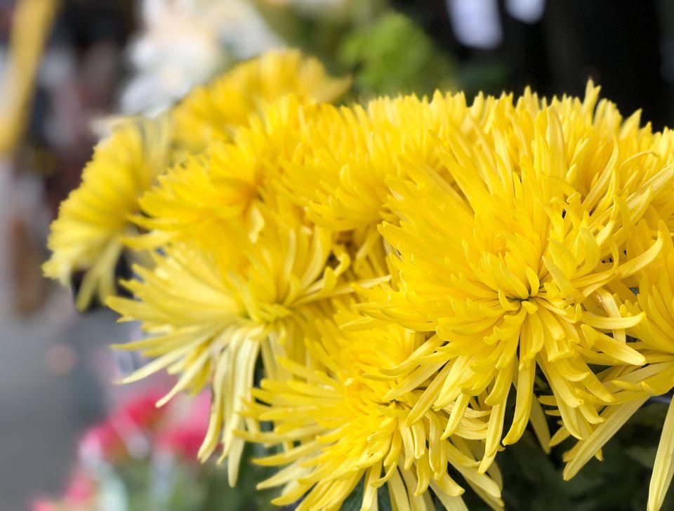Close up of yellow Spider Mum flowers