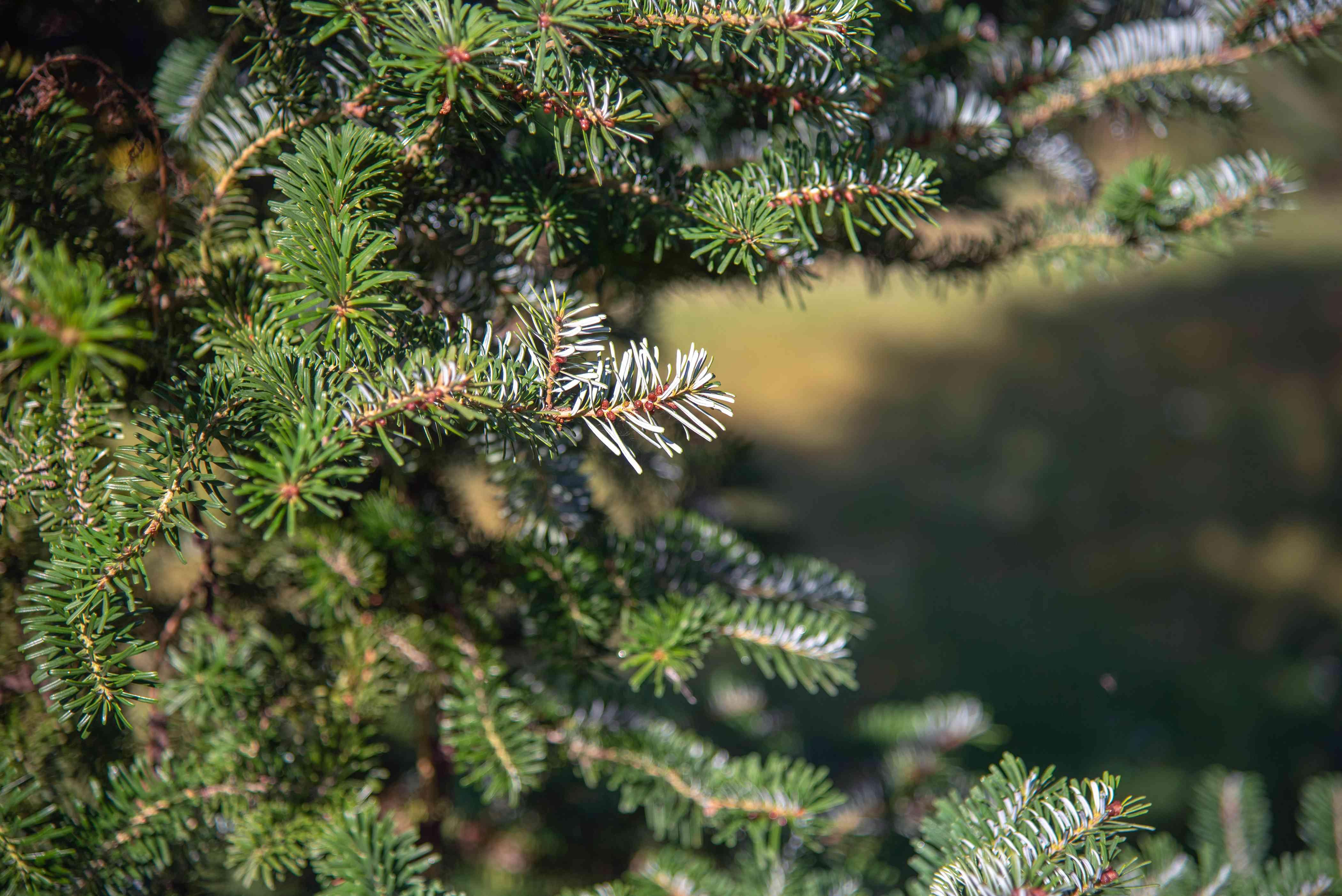 Balsam fir tree branch with short green and gray-green needles in sunlight closeup