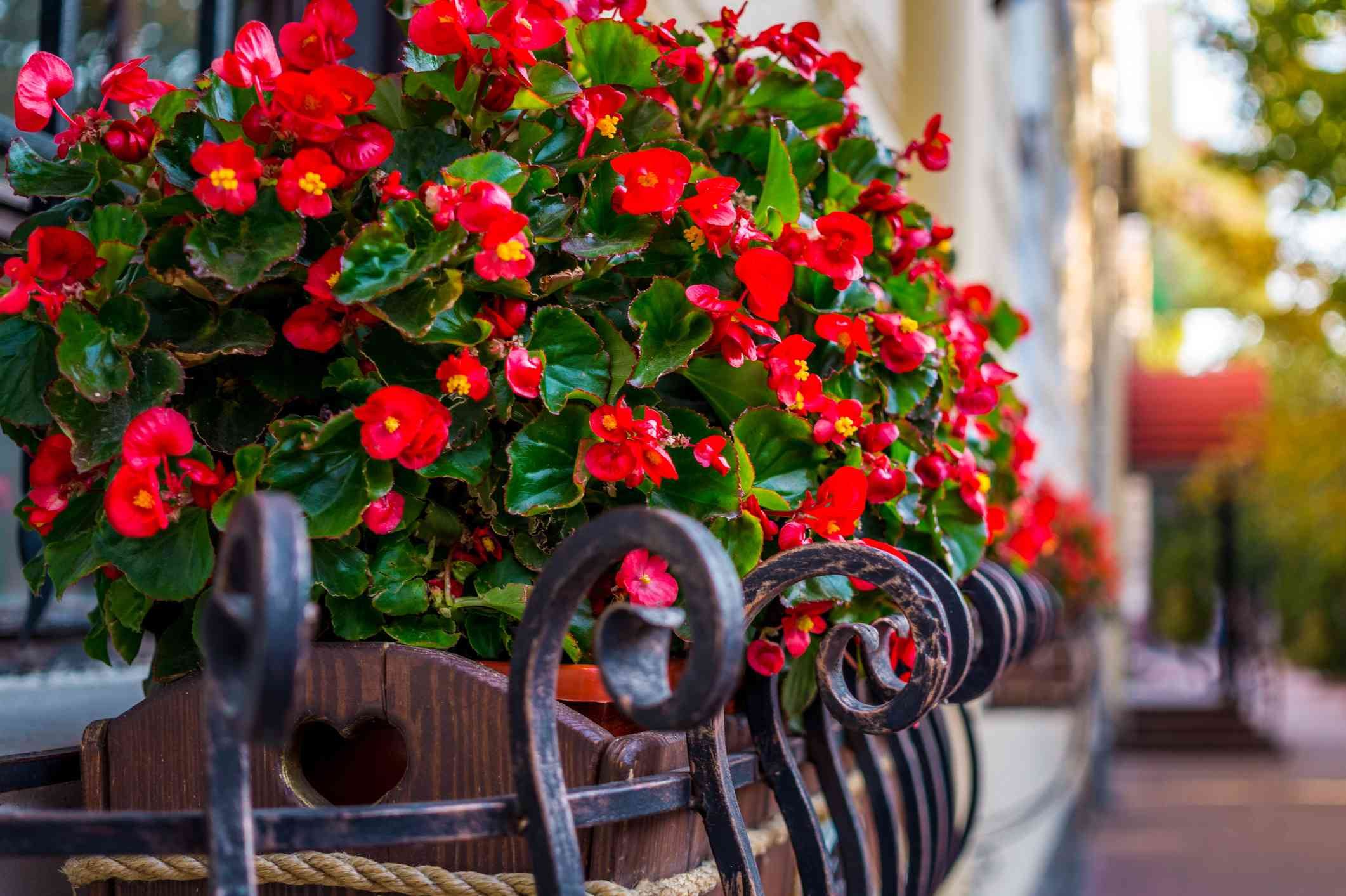 Red begonias blooming in a flower box on a balcony