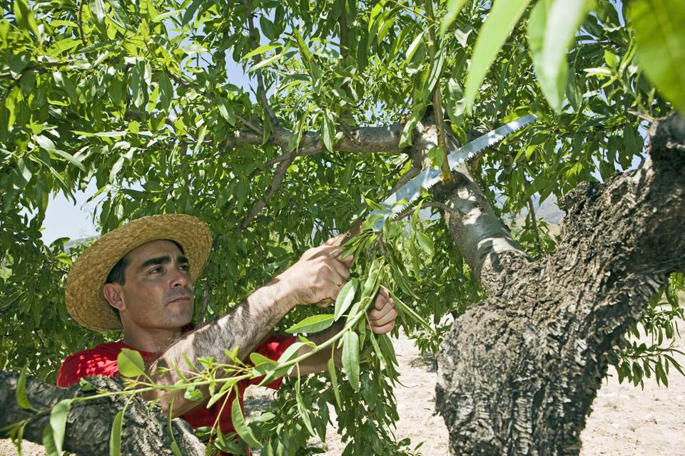 Farmer pruning an Almond tree on a sunny day