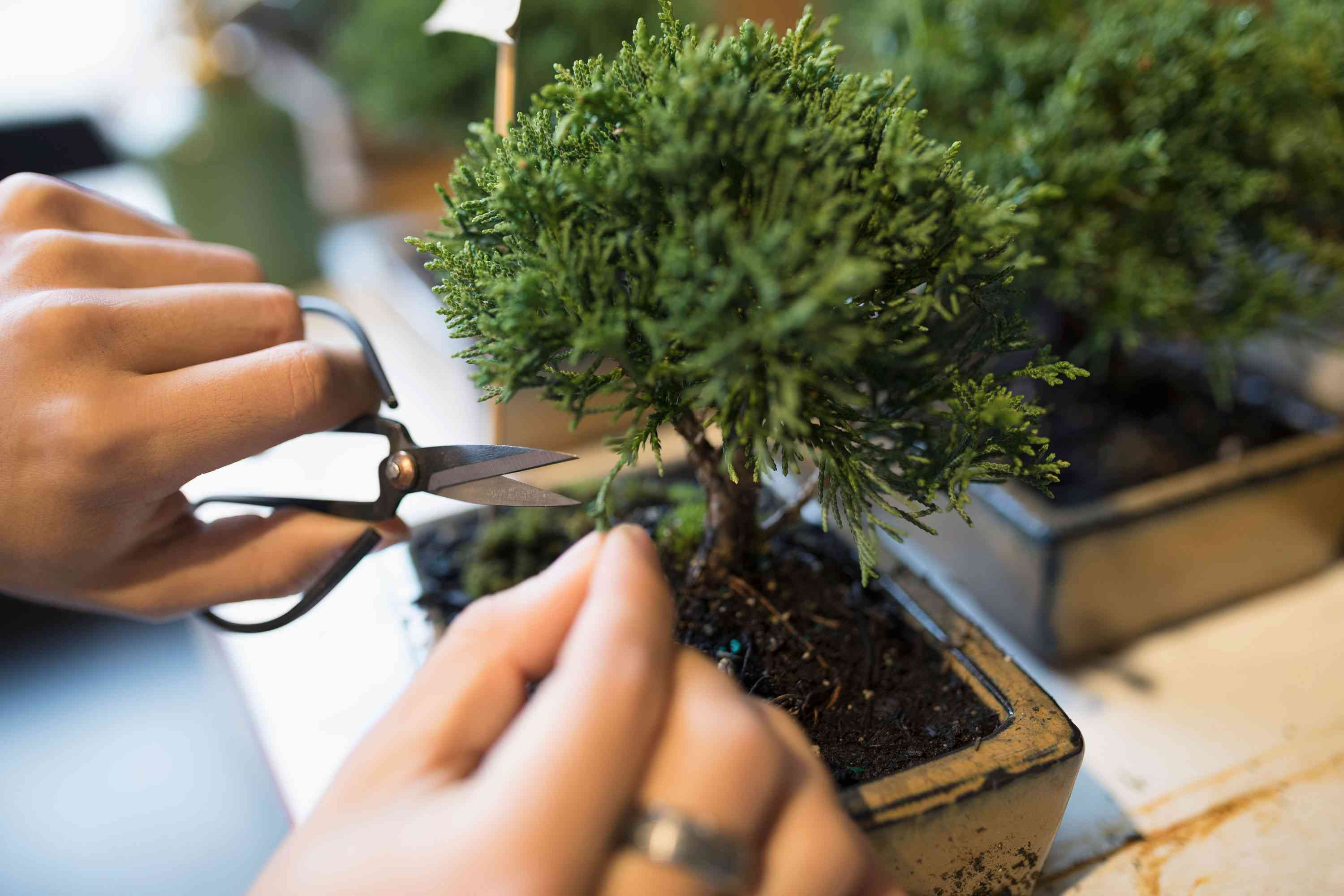Pruning bonsai tree