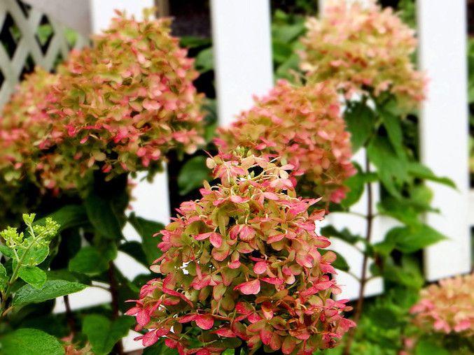 Pink tinged white hydrangea flowers