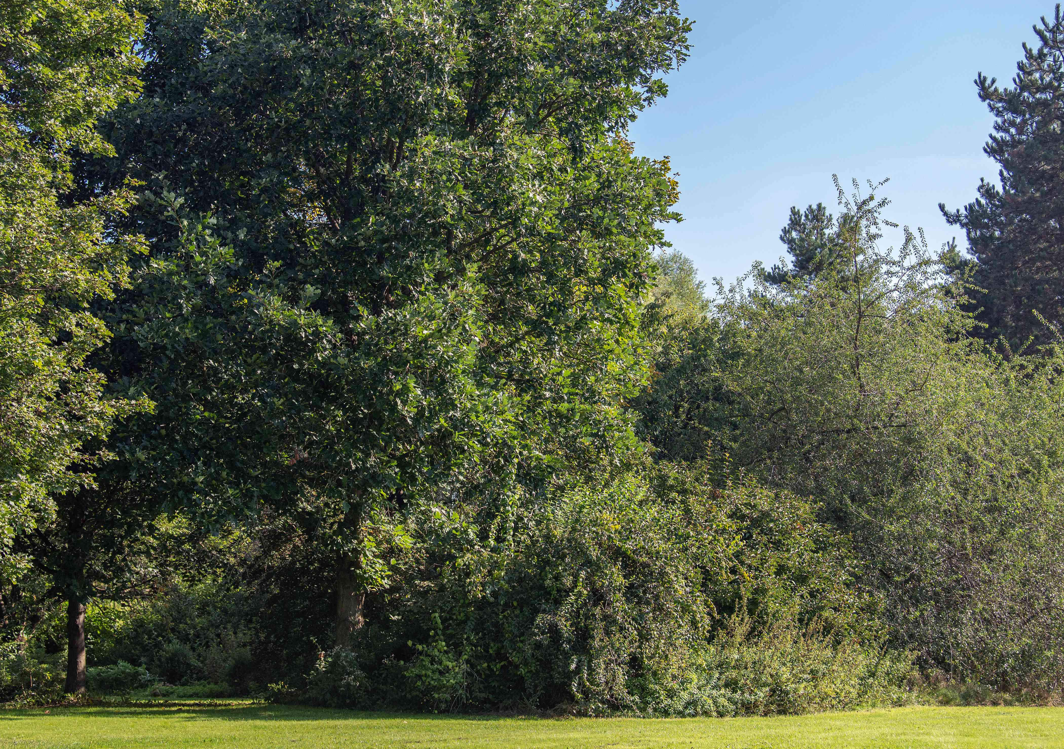 Bur oak tree with large spreading branches in wooded area