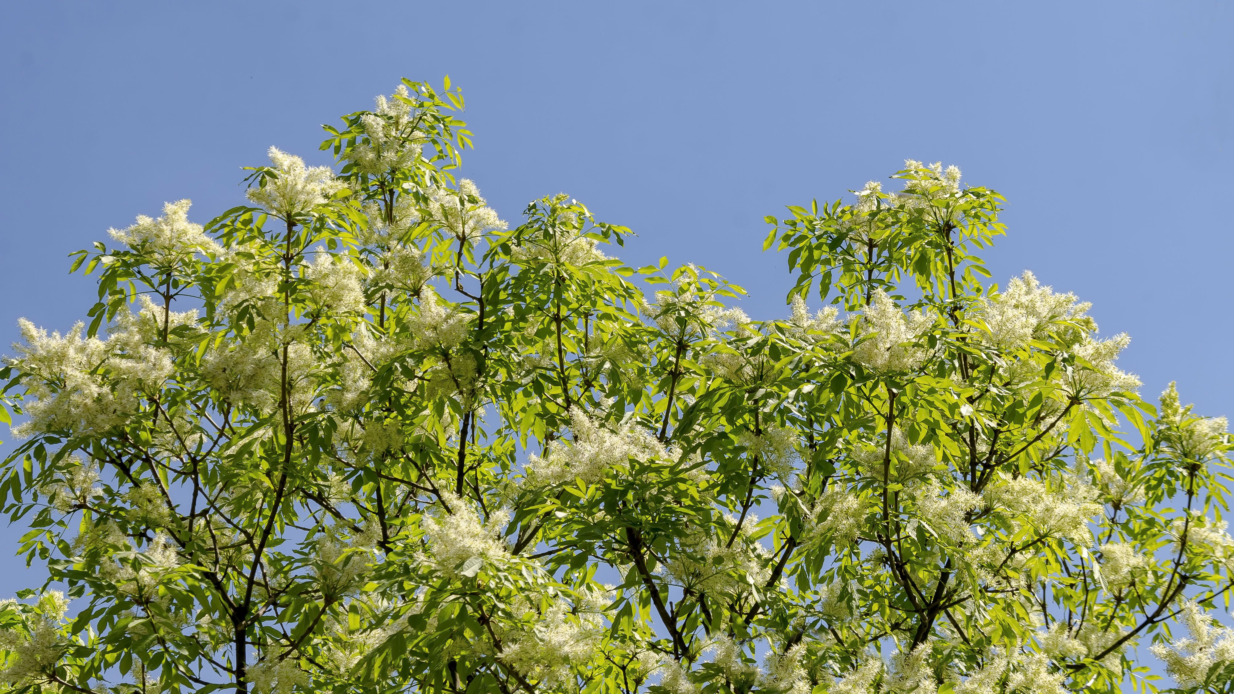 Japanese Lilac Tree Care And Growing Guide