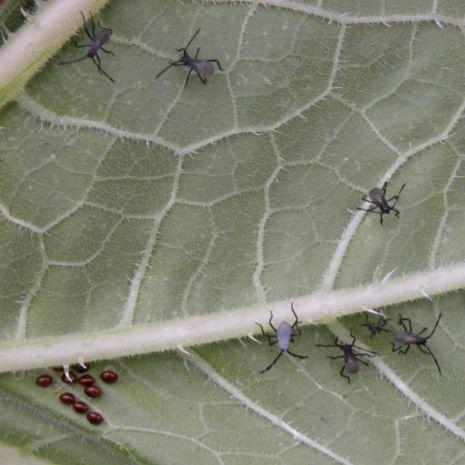 Insectos y huevos de calabaza
