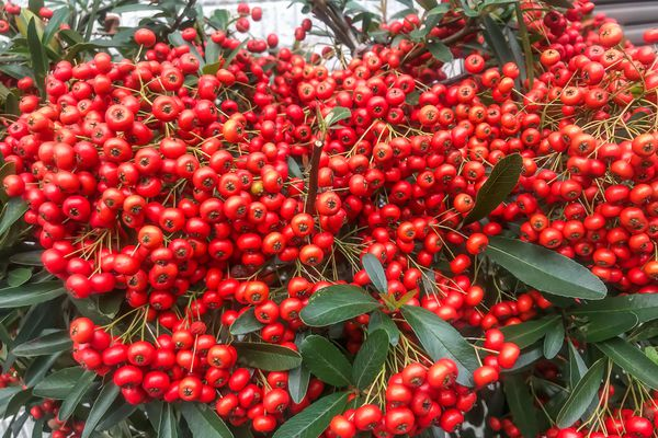 Firethorn (Pyracantha coccinea) bush with berries